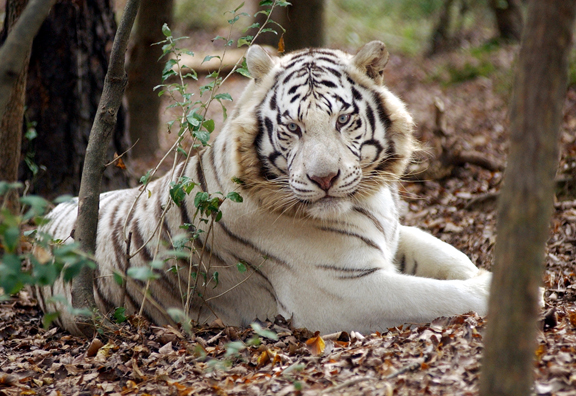A white tiger named Jellybean looks at a tour group during the Carnivore Preservation Trust's fall festival on Saturday, October 23, 2004.